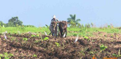 Responden campesinos villaclareños ante el reclamo de más producción ante la COVID -19
