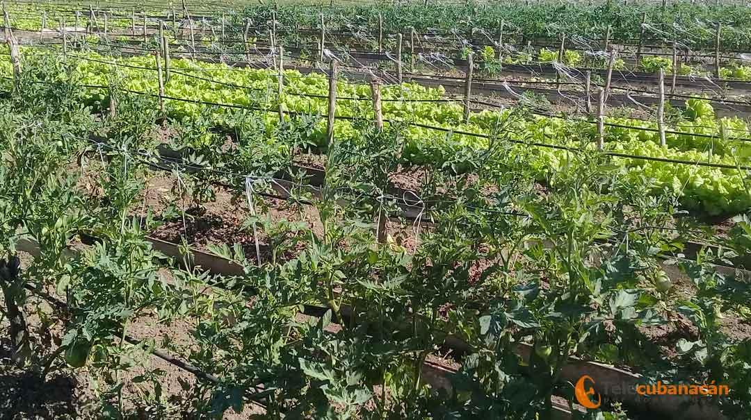 El tomate y la lechuga son cultivos que no faltan en los organopónicos en estos meses de invierno.