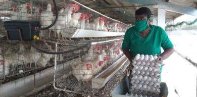 Ante la COVID-19, se crecen los avicultores de Villa clara