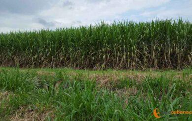 En defensa de la caña de azúcar: el verdadero «Oro verde» del Caimán