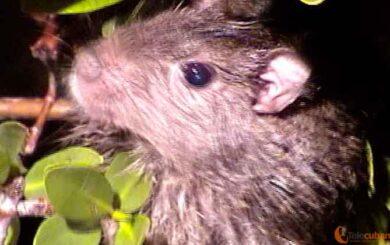 La extinción mediática de la jutía rata