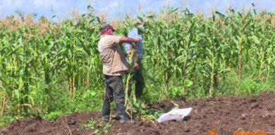 Siguen aportando por la alimentación cooperativistas villaclareños