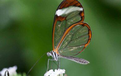En busca (desesperadamente) de Mariposas de Cristal